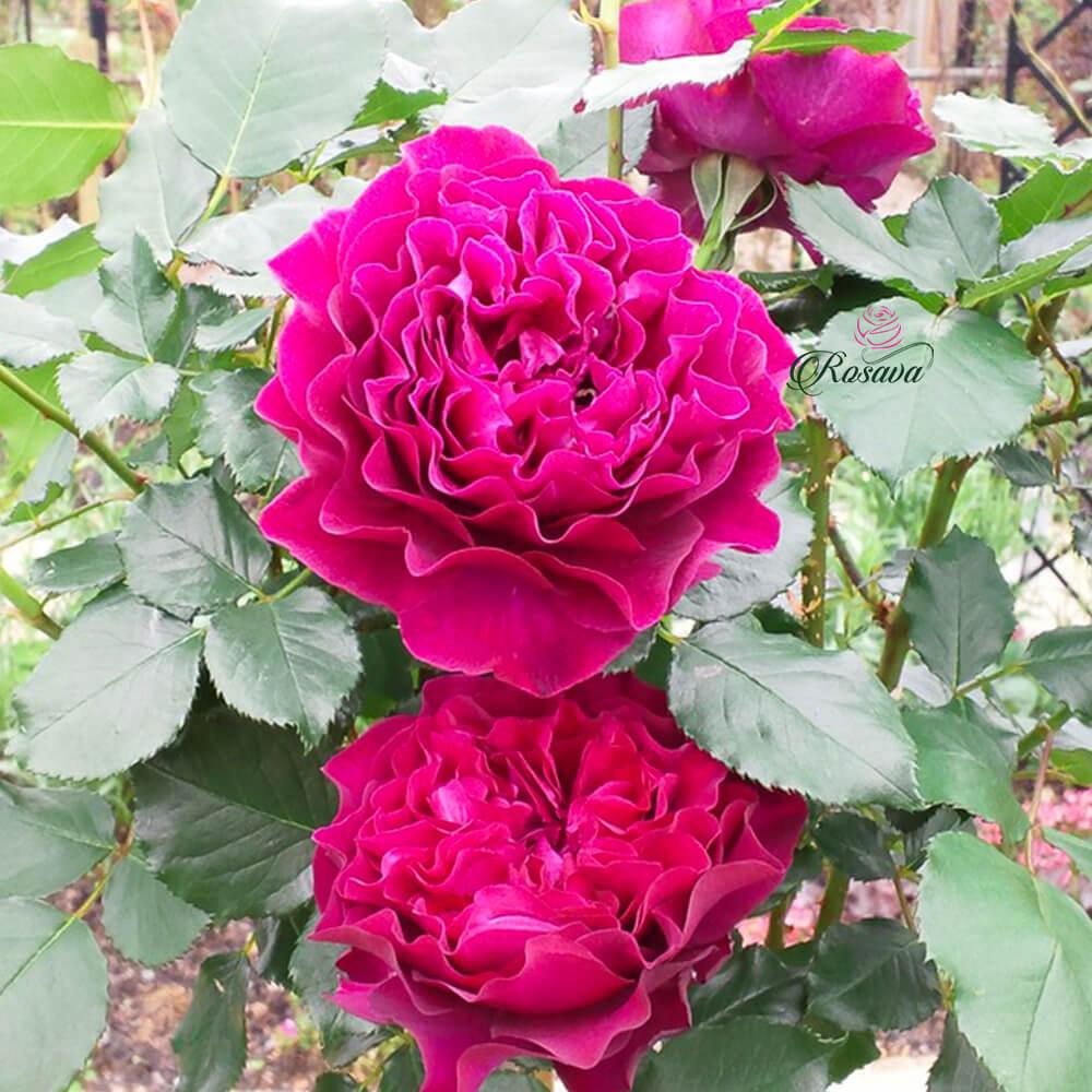 Hoa hồng Velvety Twilight