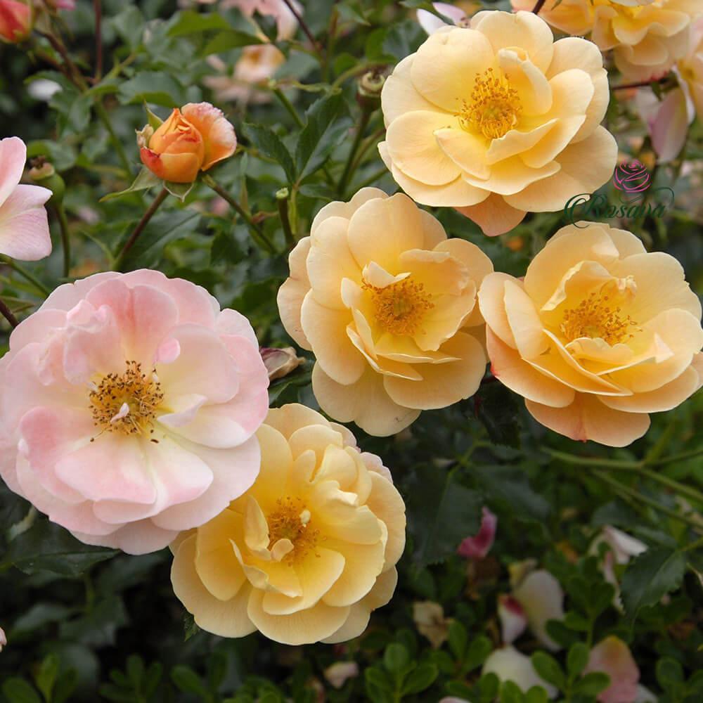 Flower Carpet Amber