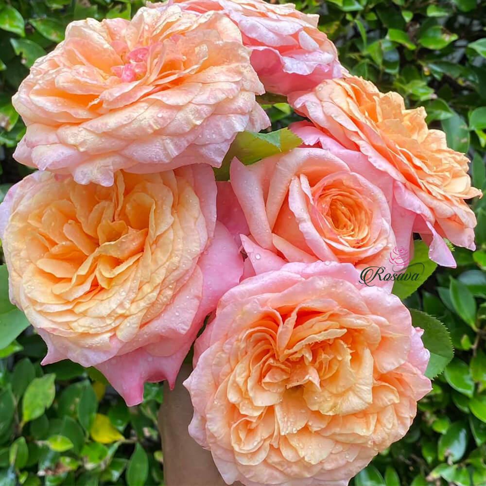 Hoa Hồng Victoria's Secret Rose