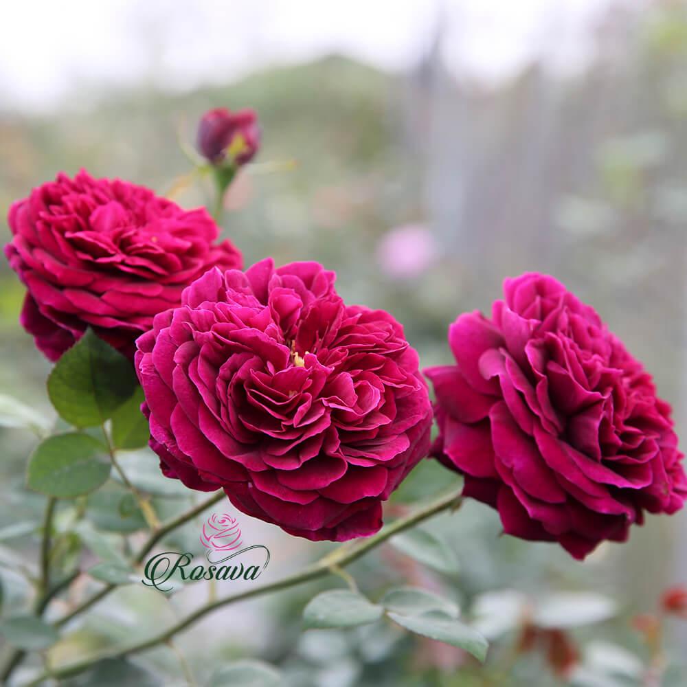 Hoa hồng ngoại Rose Royale rose