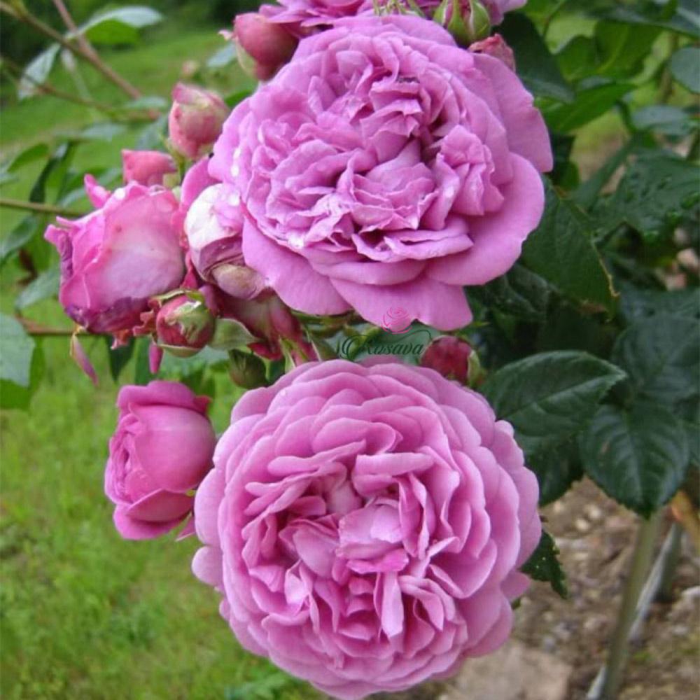 Hoa hồng Blue Boy