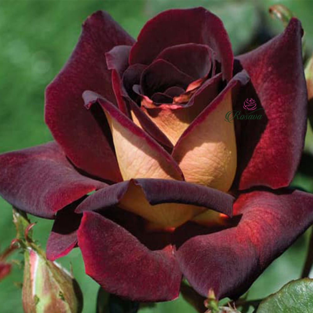Hoa hồng Dark Night