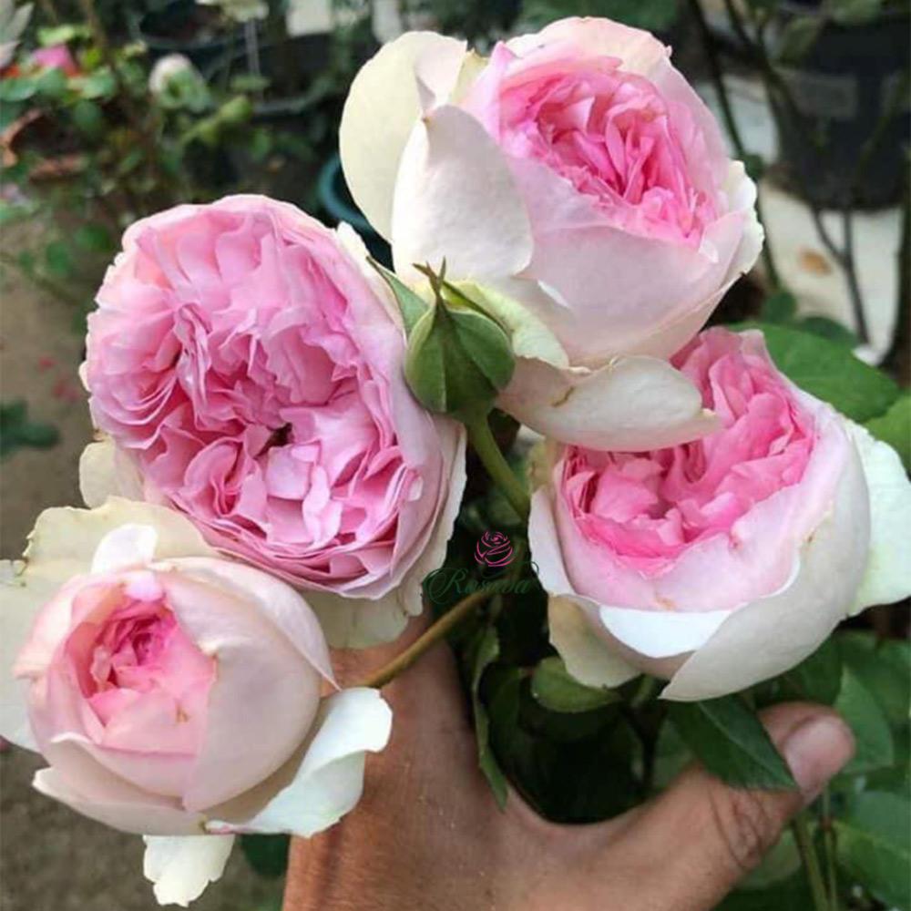 Hoa Hồng Yves Maiden Heart