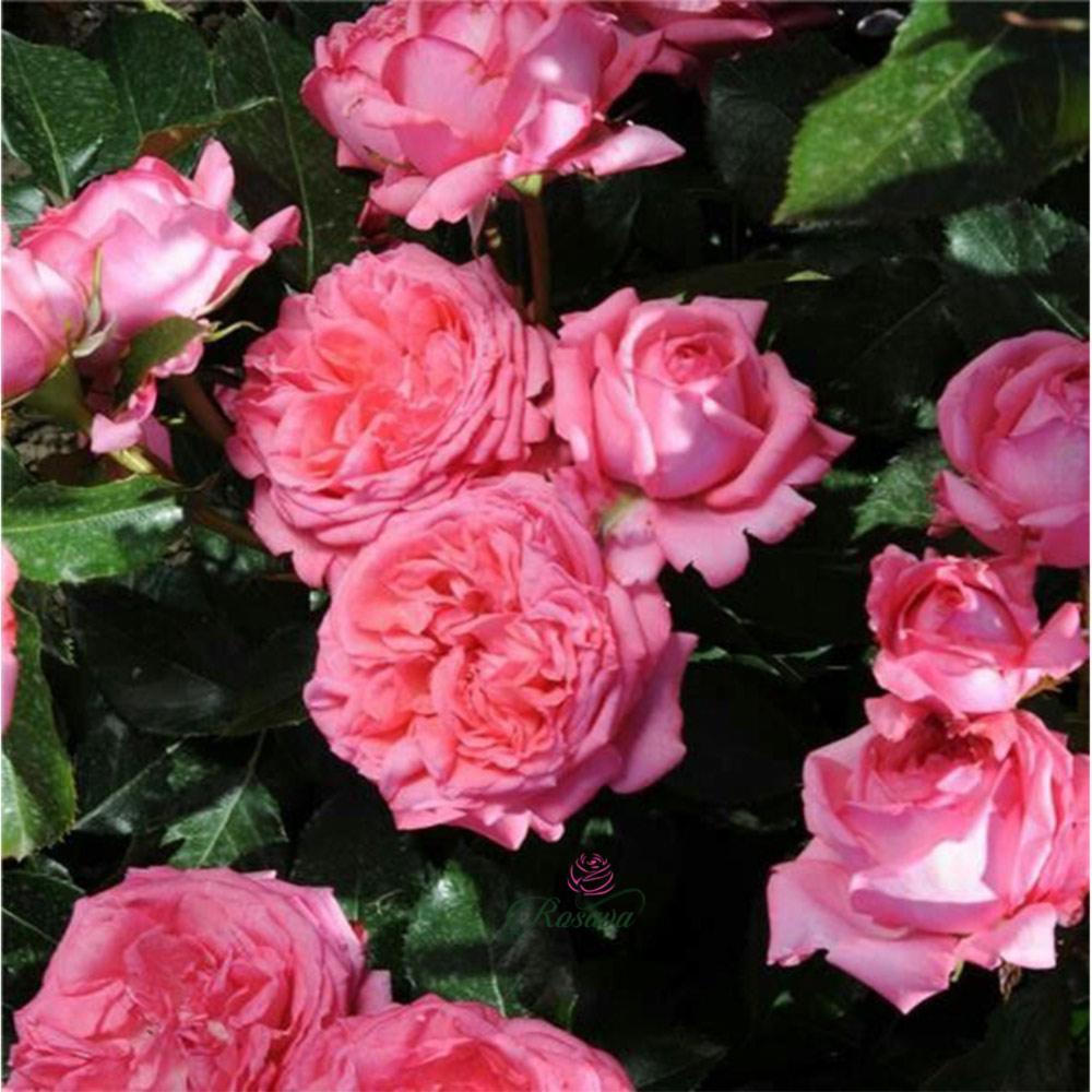 Hoa Hồng La Rose De Molinard