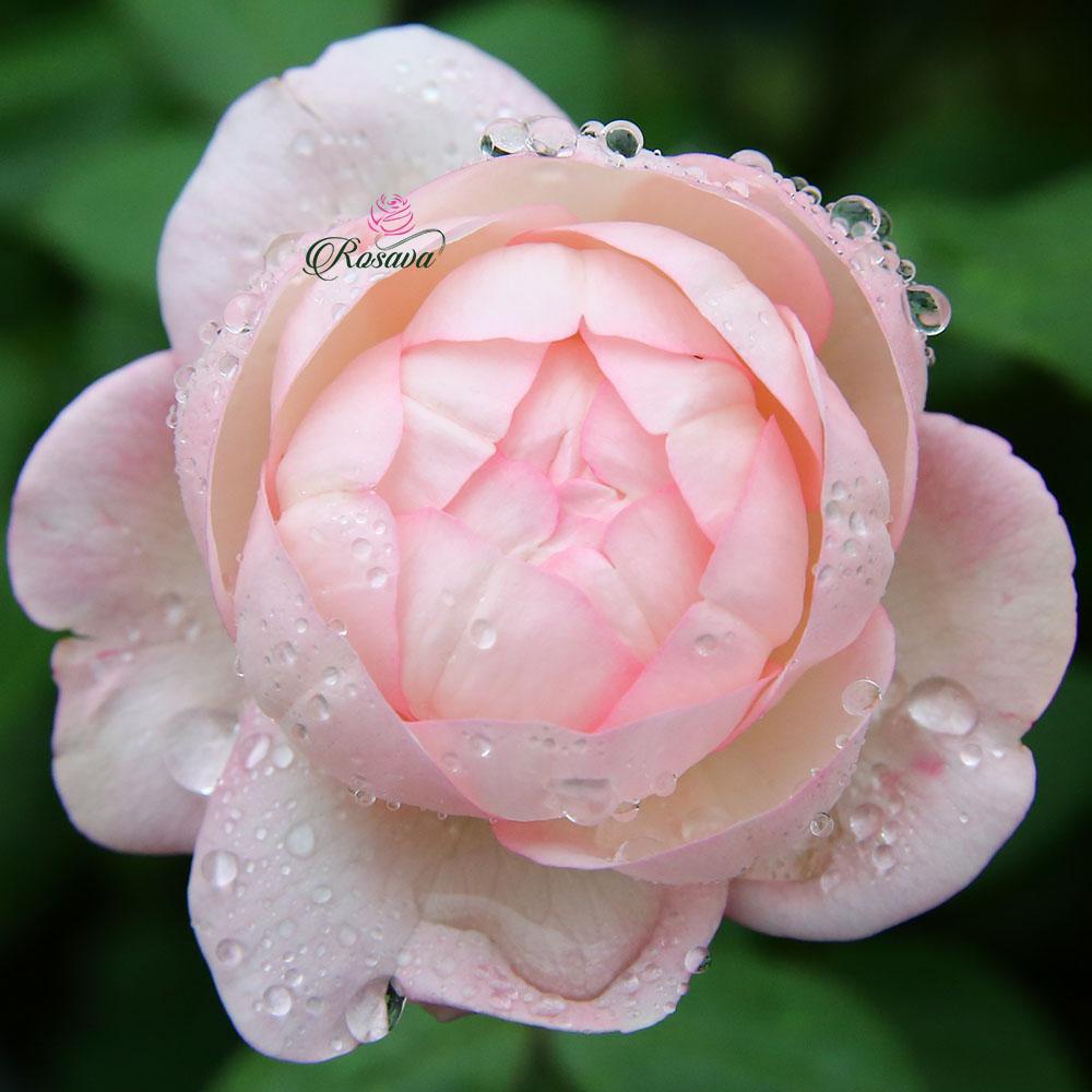 Hoa Hồng Strawberry Marcaron