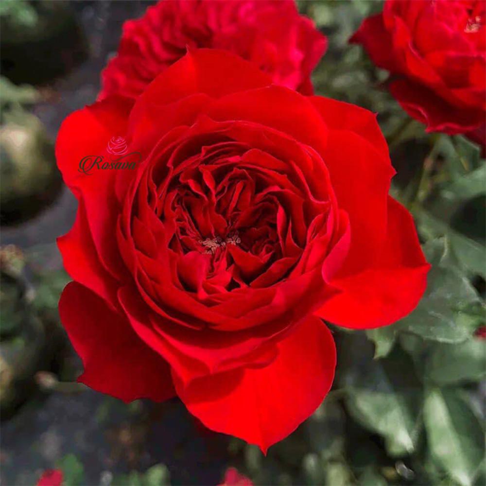 Hoa Hồng Red Apple