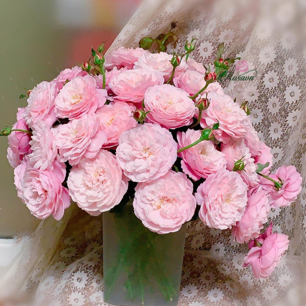 Hoa hồng Plume Rose
