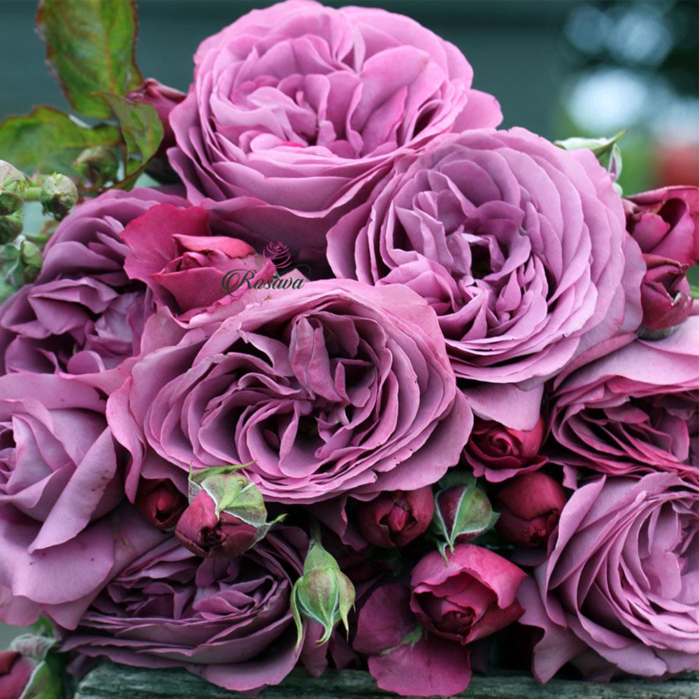 Hoa Hồng Thank You Rose