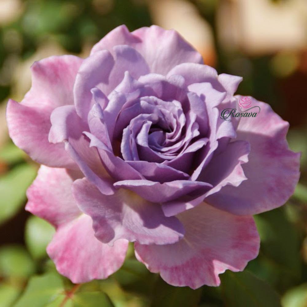 Hoa Hồng Lavender Crystal