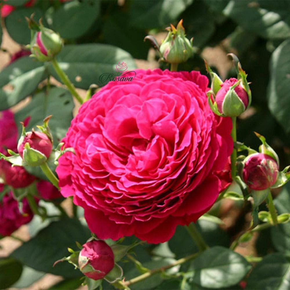 Hoa hồng Gospel