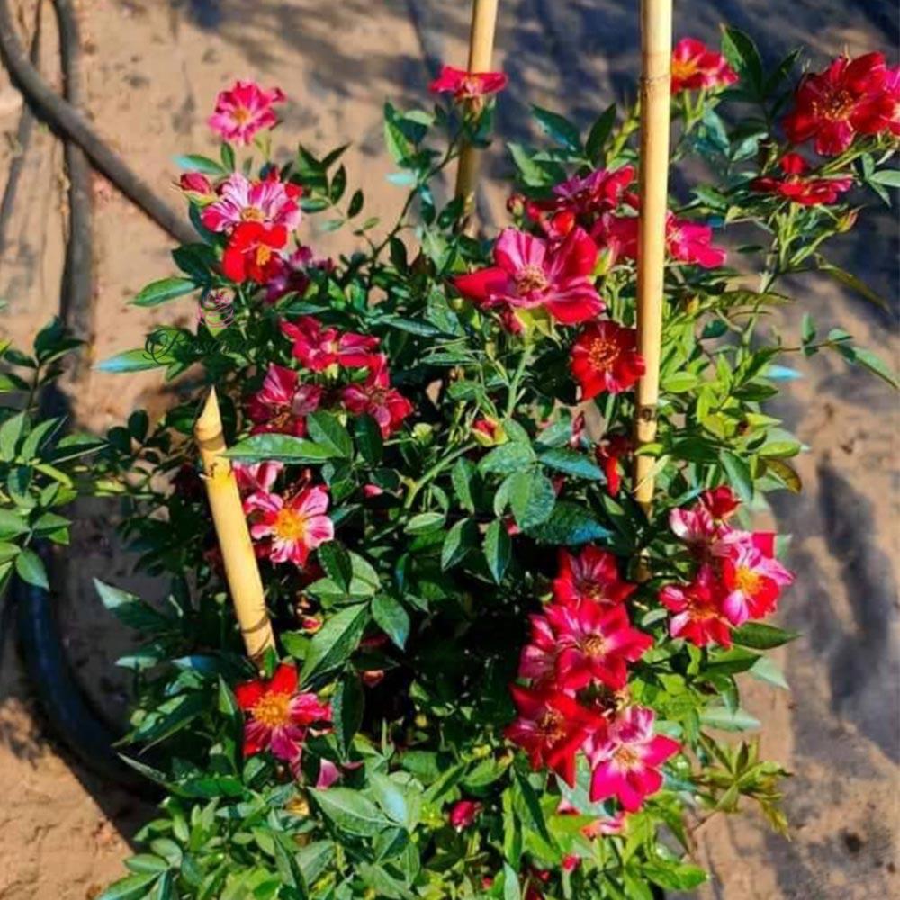 Hoa hồng Kazehanabi