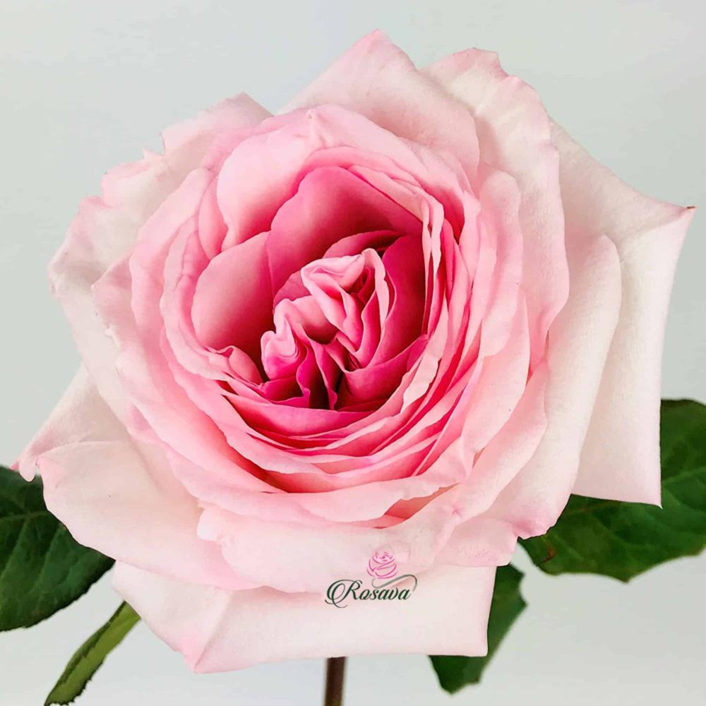 Hoa Hồng Pink Ohara
