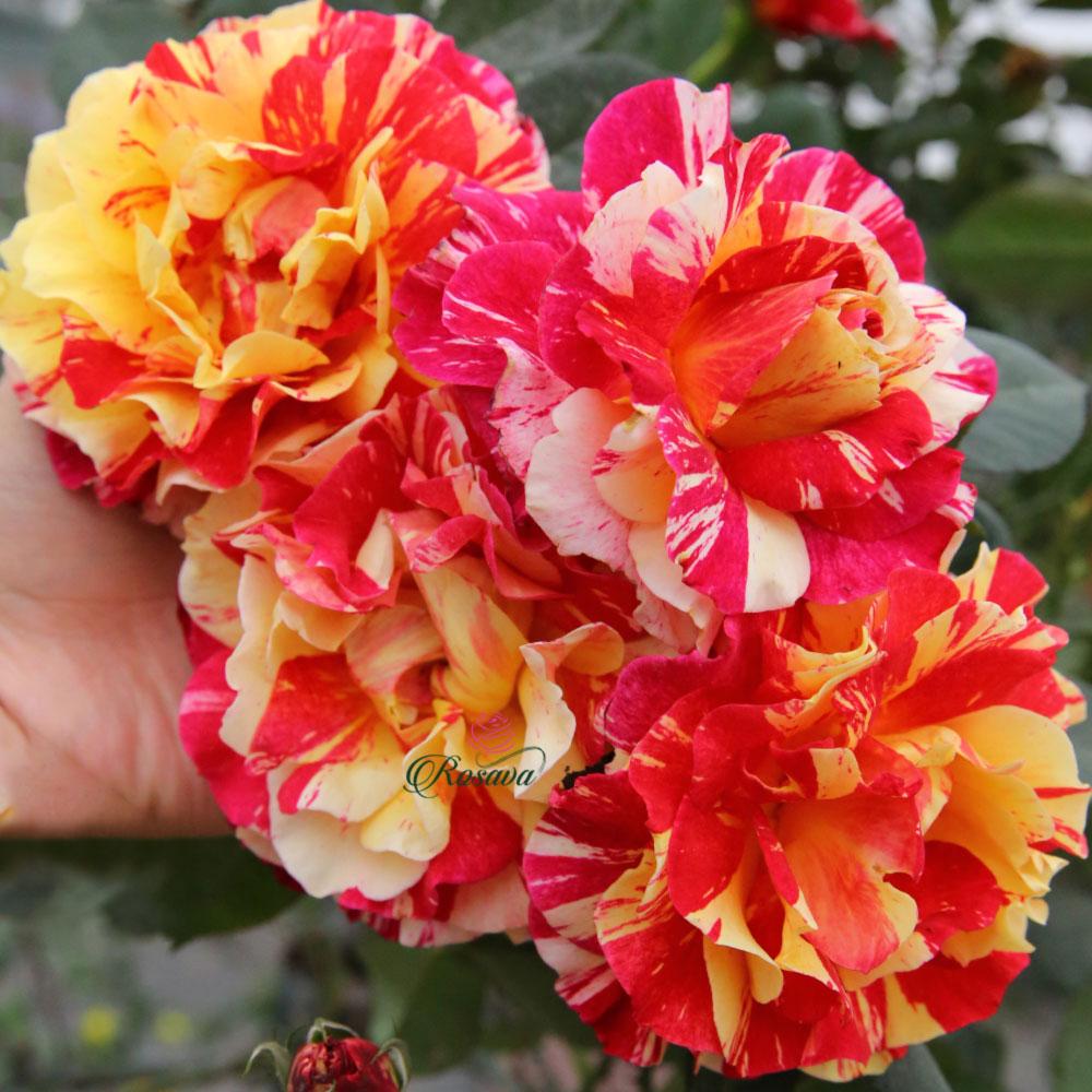 Hoa hồng Utrillo