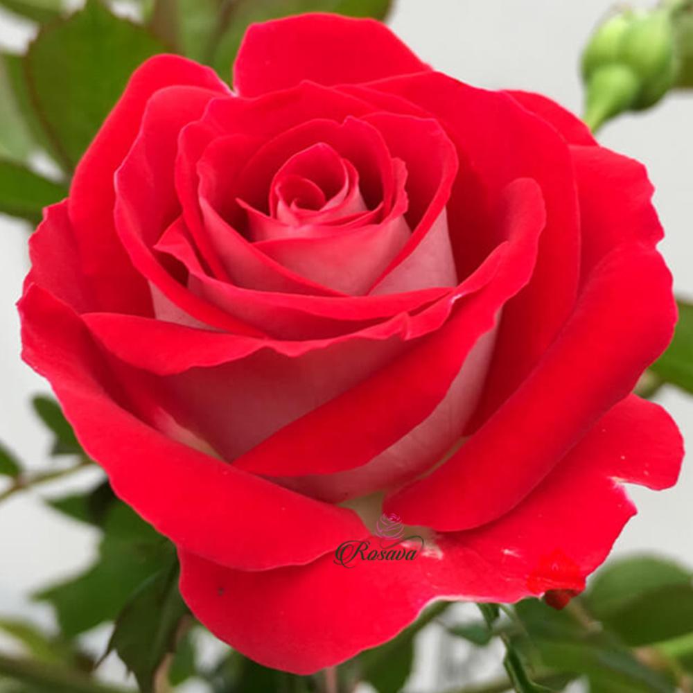 Hoa hồng Ruby Ice