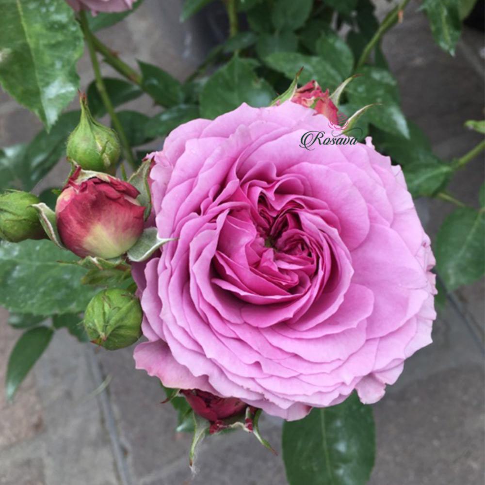 Hoa hồng Lavender Ice