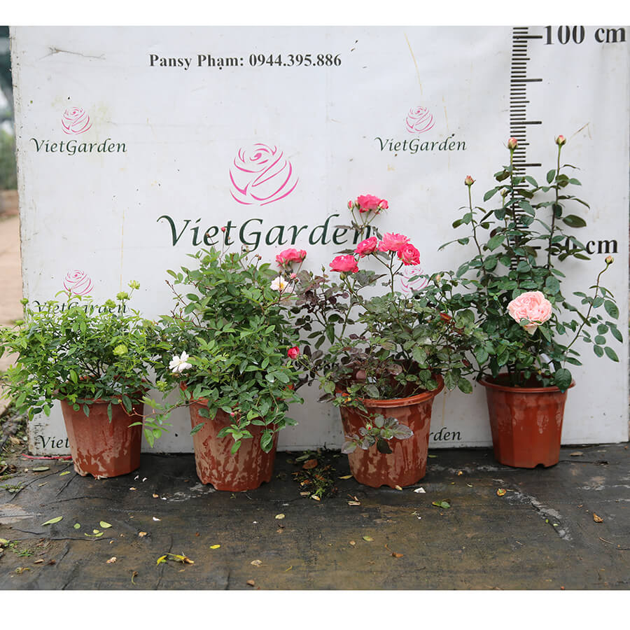 Hoa hồng Pháp Marie Pavie rose