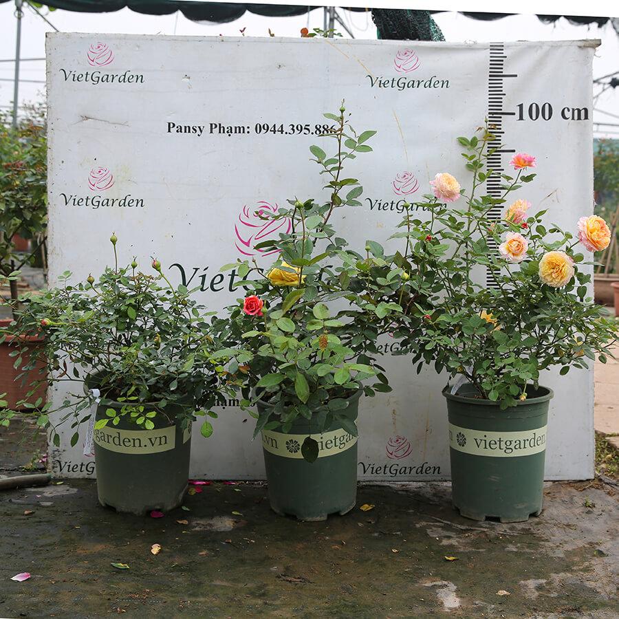 Hoa hồng Pháp Creamy Eden rose