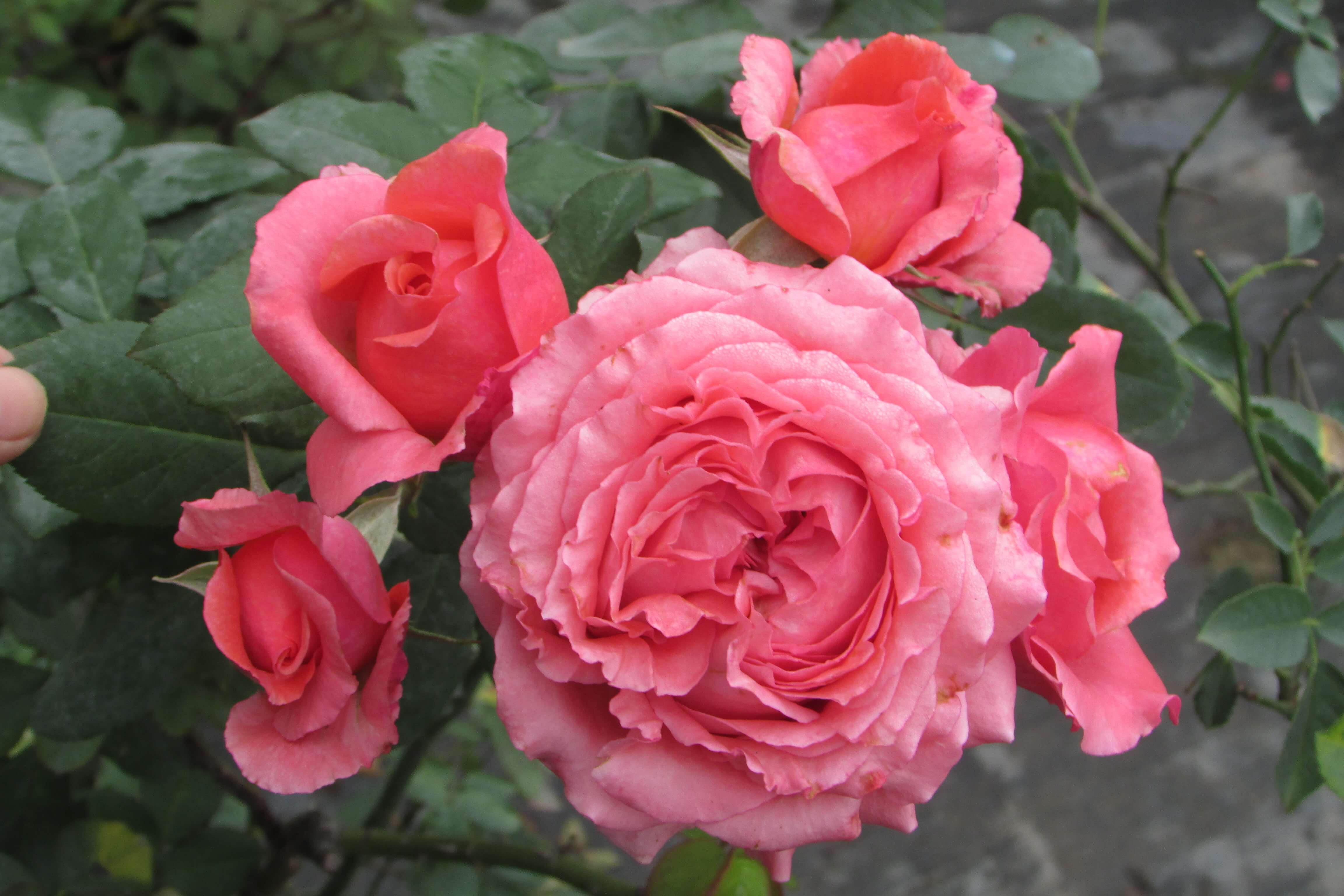 Hoa hồng ngoại Corail Gelee rose