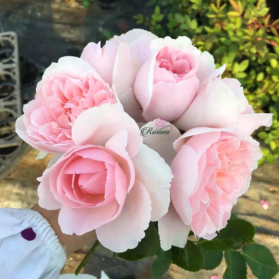 Hoa hồng ngoại Sharifa Asma rose