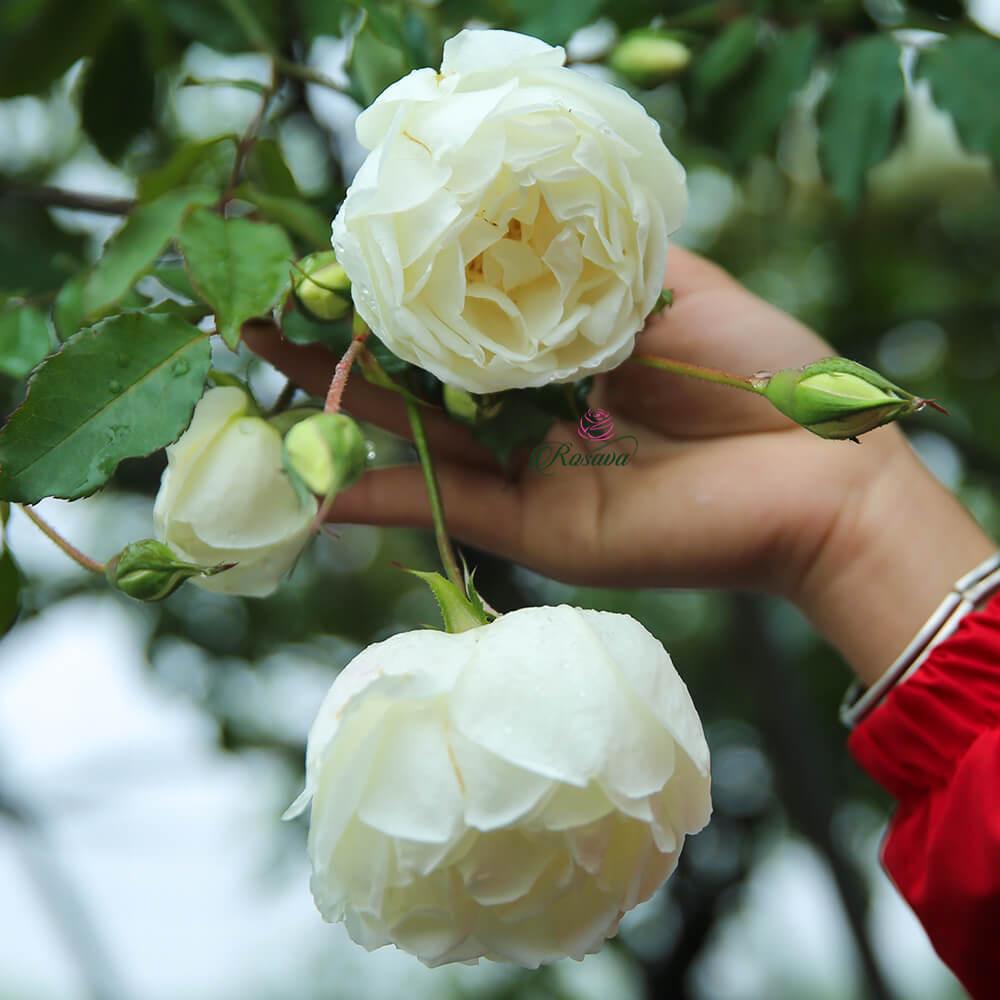 Hoa hồng Bạch cổ – Hoa hồng cổ quý của Việt Nam