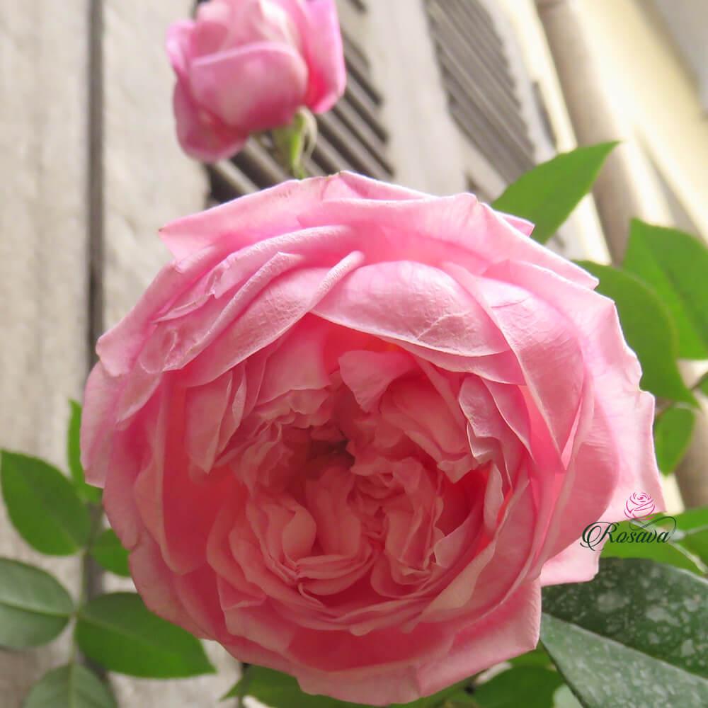 Hoa hồng cổ Sapa – giống hồng bất hủ mọi thời đại