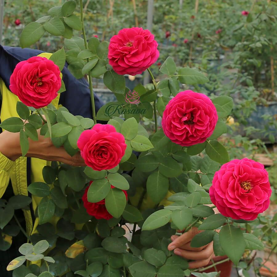 Hoa hồng David Austin Darcey rose