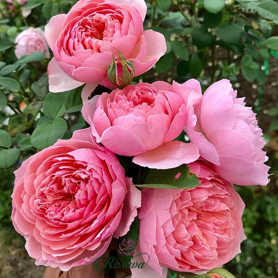 Hoa hồng ngoại Anh The Alnwick rose