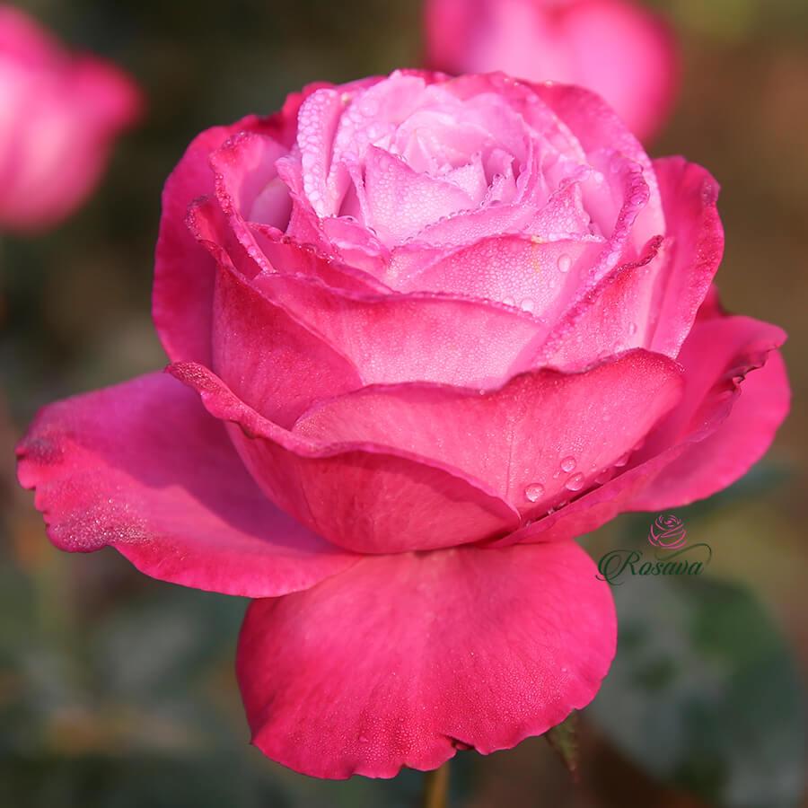 Hoa hồng ngoại Blue River rose