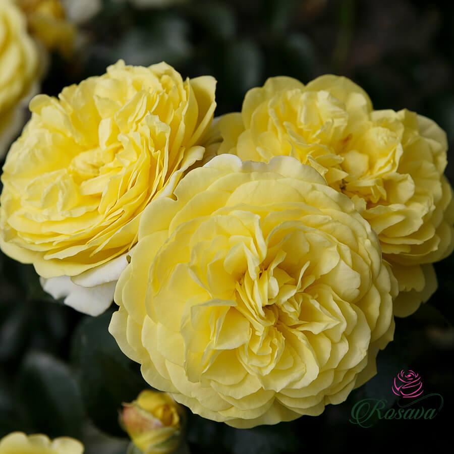 Hoa hồng ngoại Solero rose