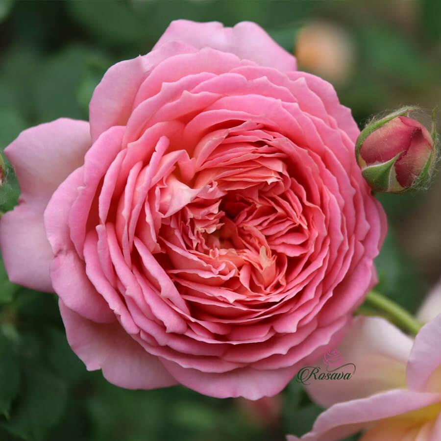 Hoa hồng ngoại Jubilee Celebration rose