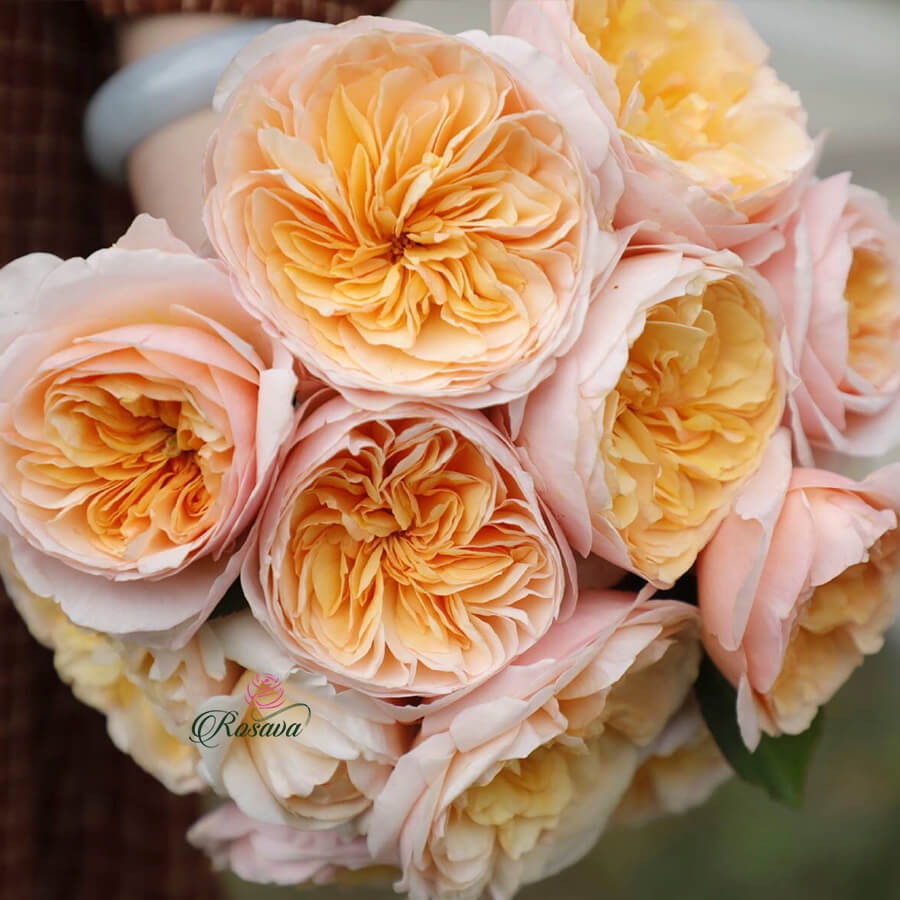 Hoa hồng Juliet triệu đô