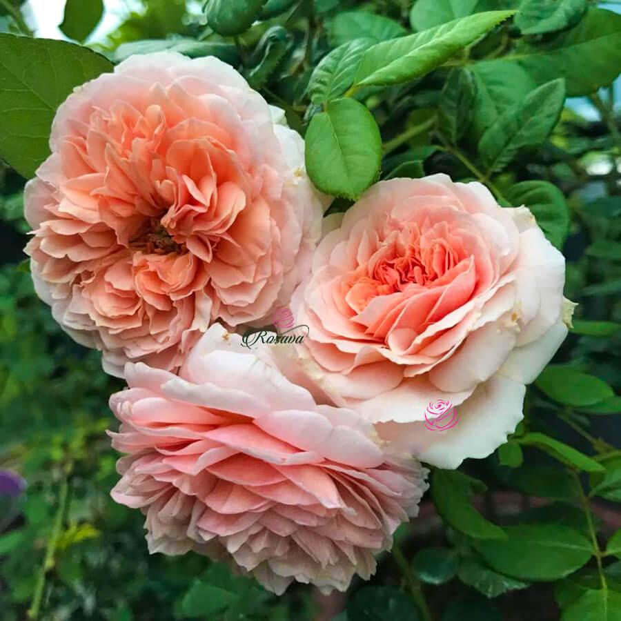 Hoa hồng leo Abraham Darby rose