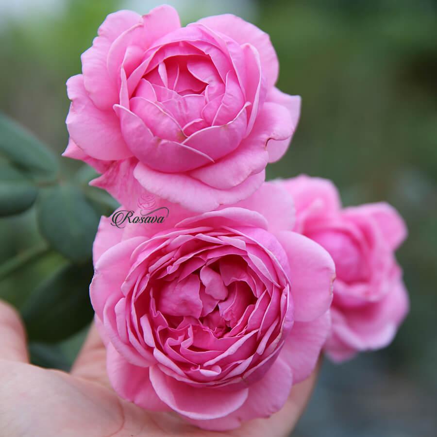 Hoa hồng leo Anh Bishop's Castle rose