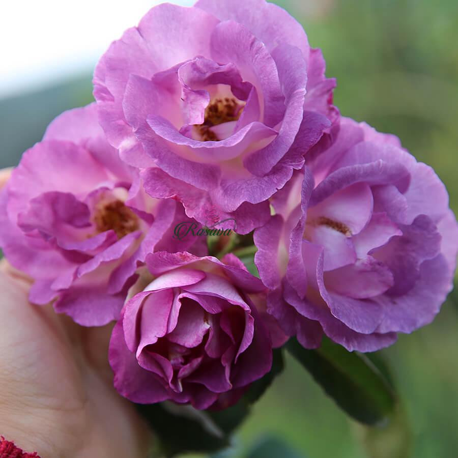 Hoa hồng leo Blue For You rose