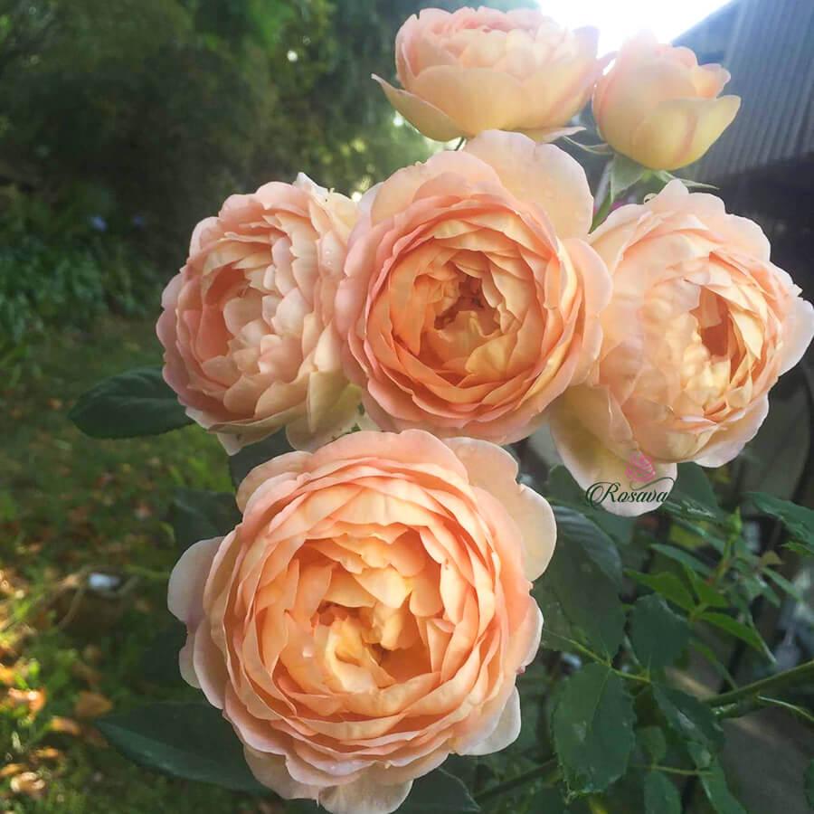 Hoa hồng leo Charles Darwin rose