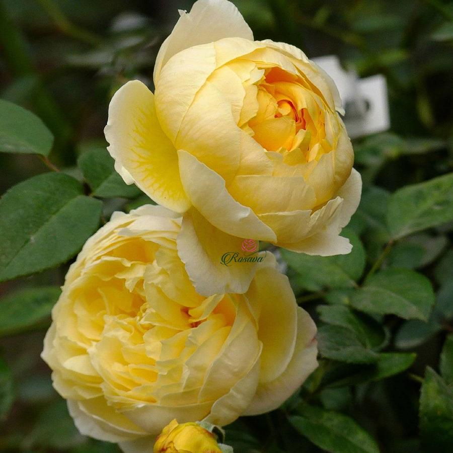 Hoa hồng leo Charlotte rose