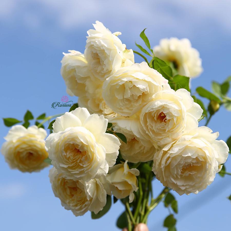 Hoa hồng leo Anh Claire Austin rose