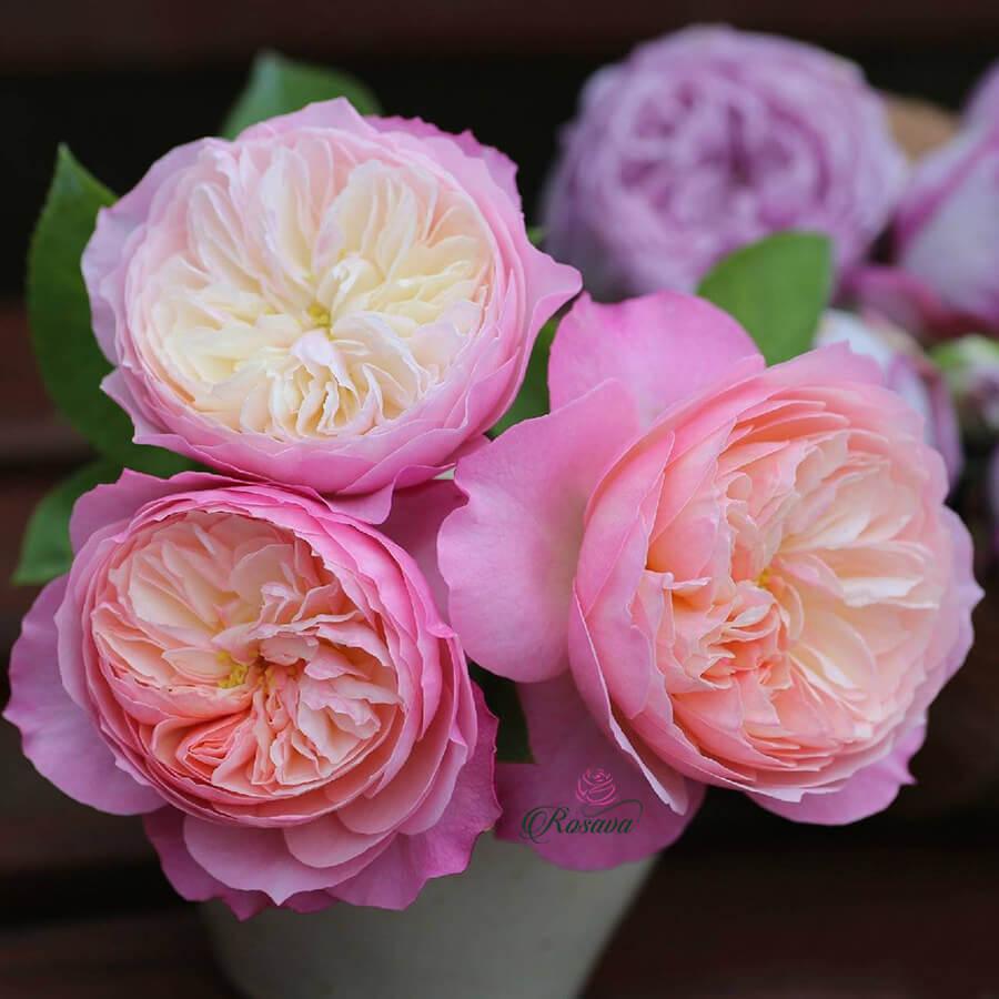 Hoa hồng leo Constance rose