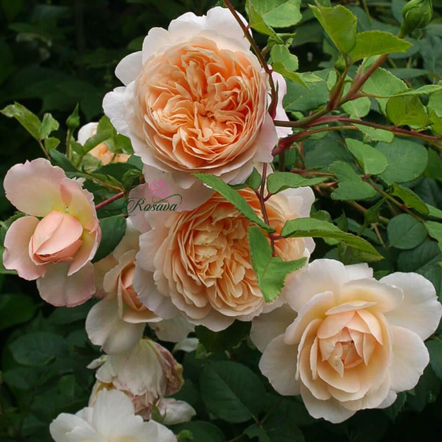 Hoa hồng leo Crocus rose