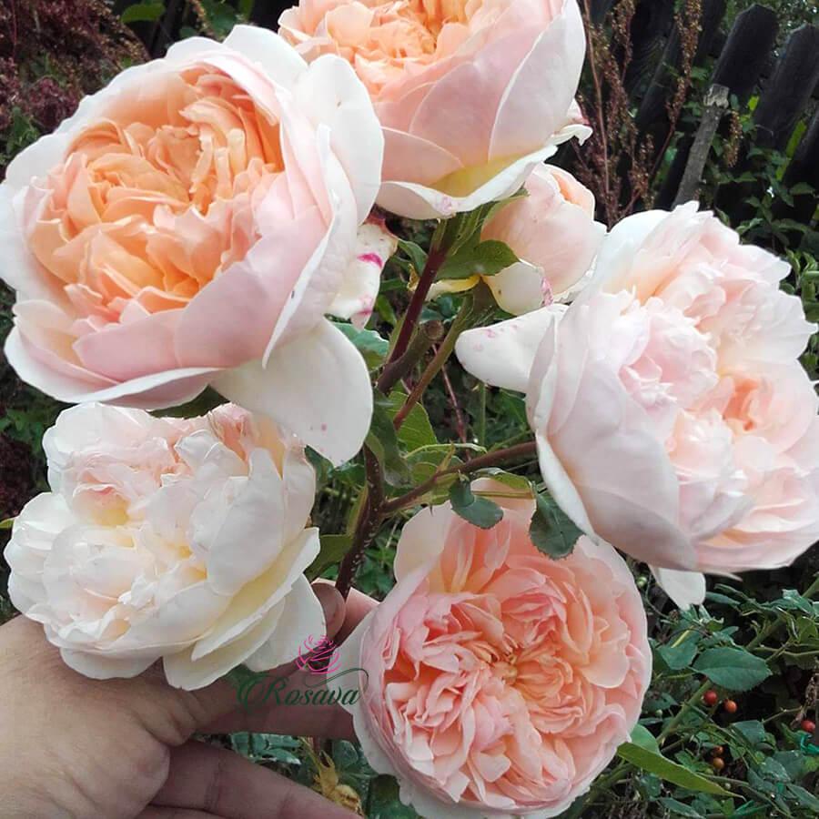 Hoa hồng leo Evelyn Climber rose