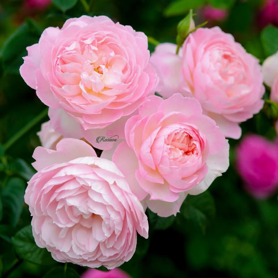 Hoa hồng leo Gentle Hermione rose
