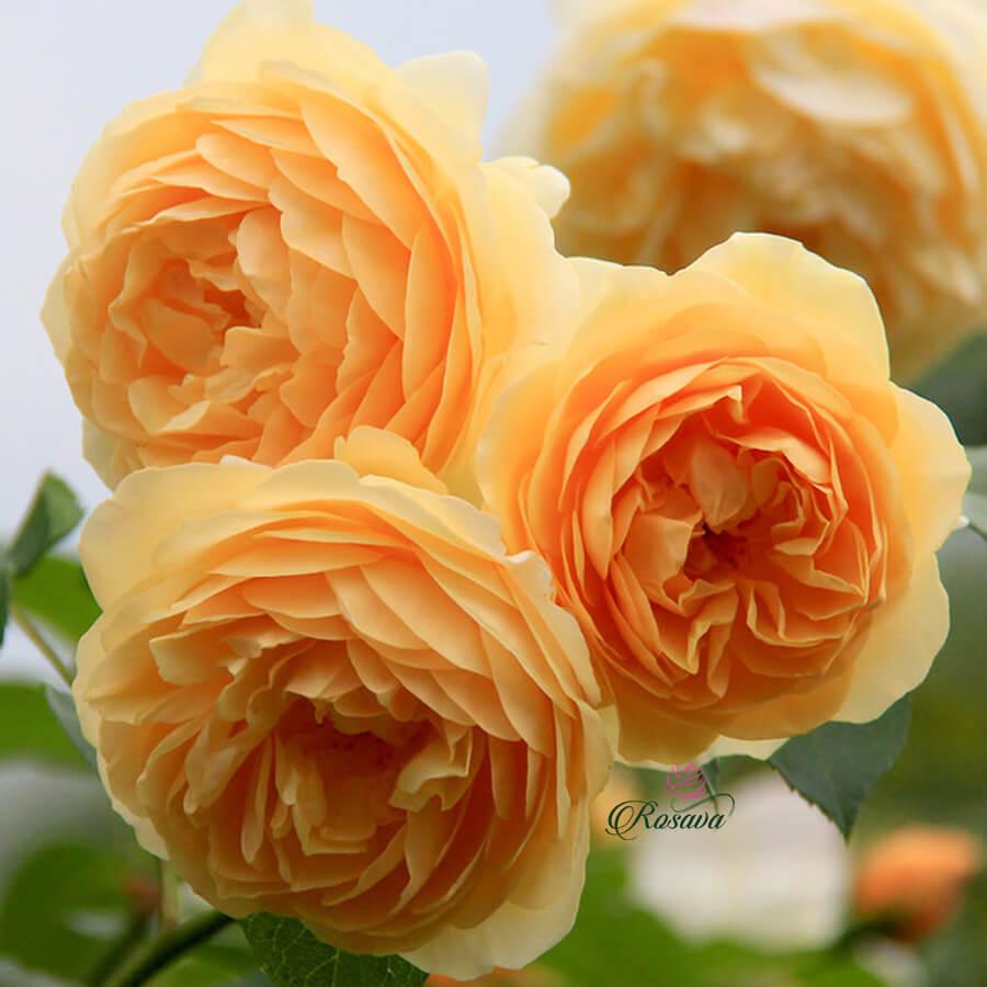 Hoa hồng leo Golden Celebration rose