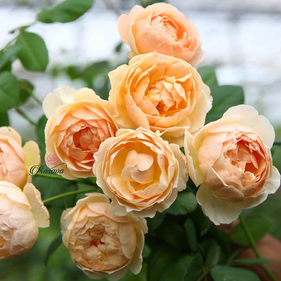 Hoa hồng leo Jude The Obscure rose