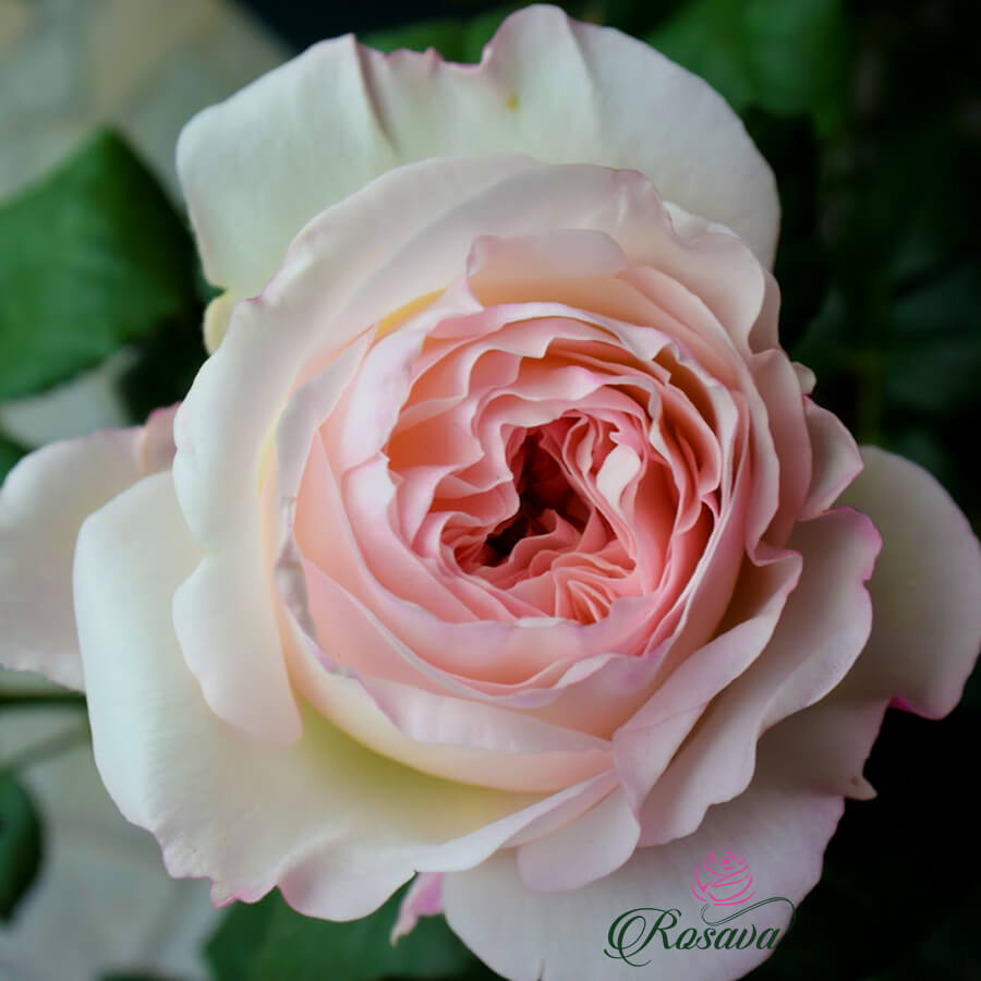 Hoa hồng leo Keira rose