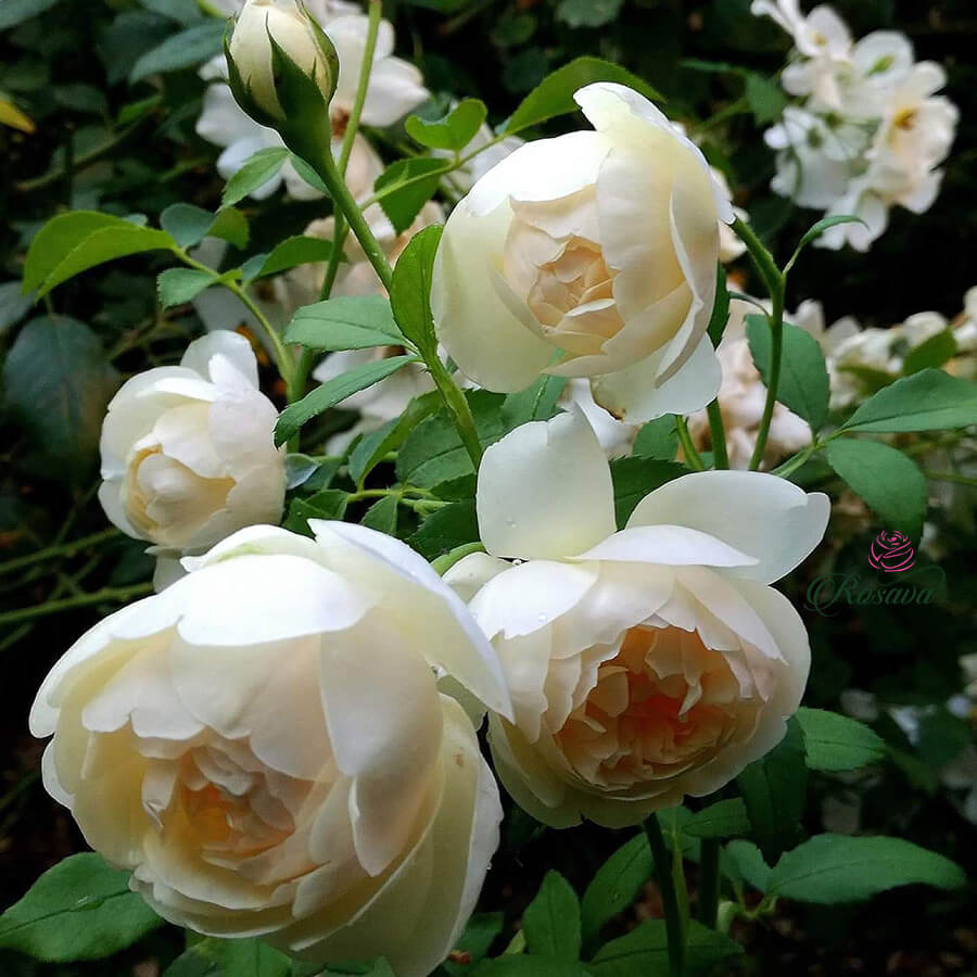 Hoa hồng leo Lichfield Angel rose