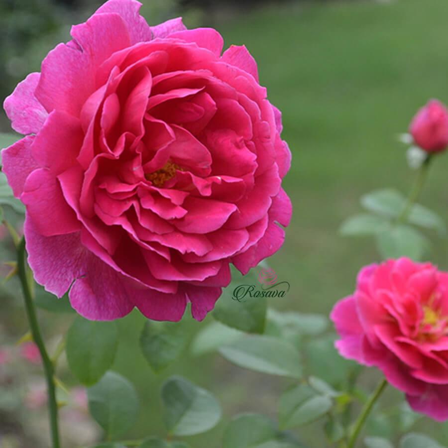 Hoa hồng leo Anh Othello rose