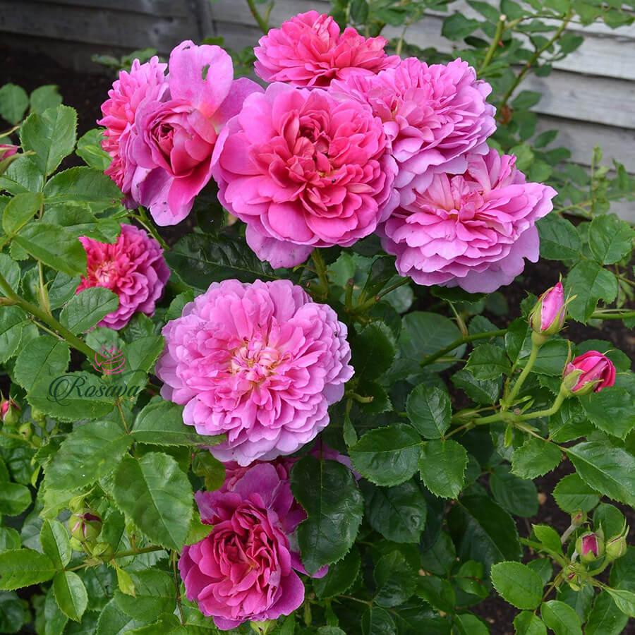Hoa hồng leo Princess Anne rose