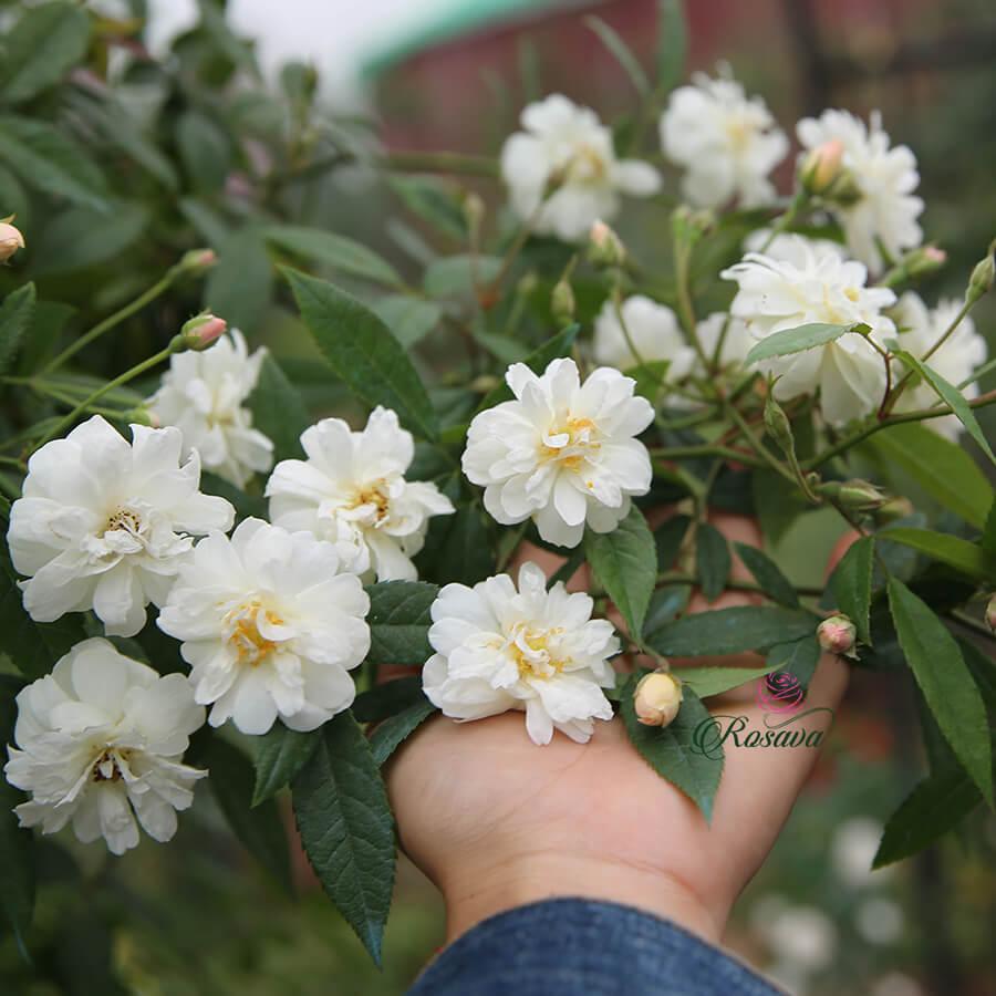 Hoa hồng leo Snow Goose rose