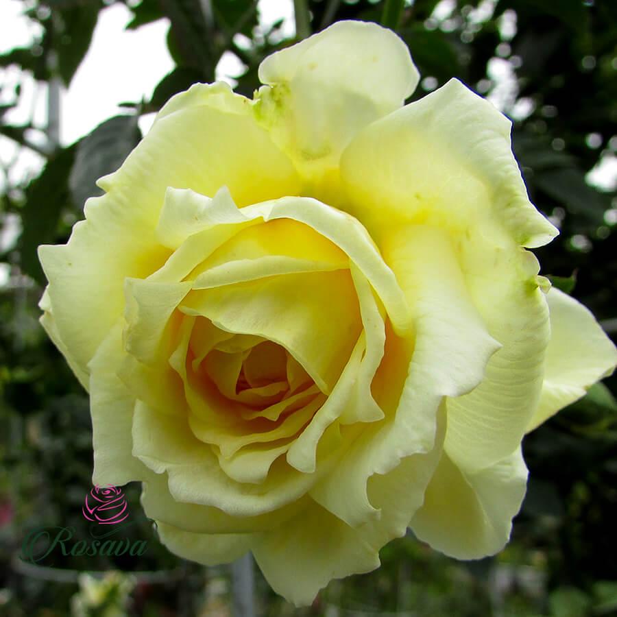 Hoa hồng leo Anh St Alban rose
