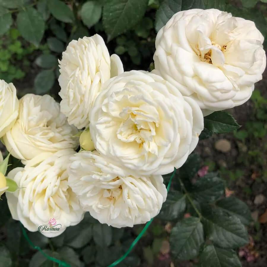 Hoa hồng leo ngoại Artemis rose